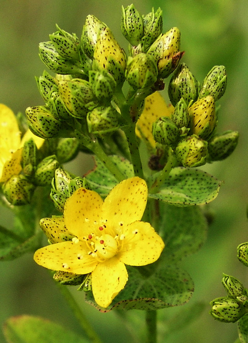 Spotted St. Johns Wort