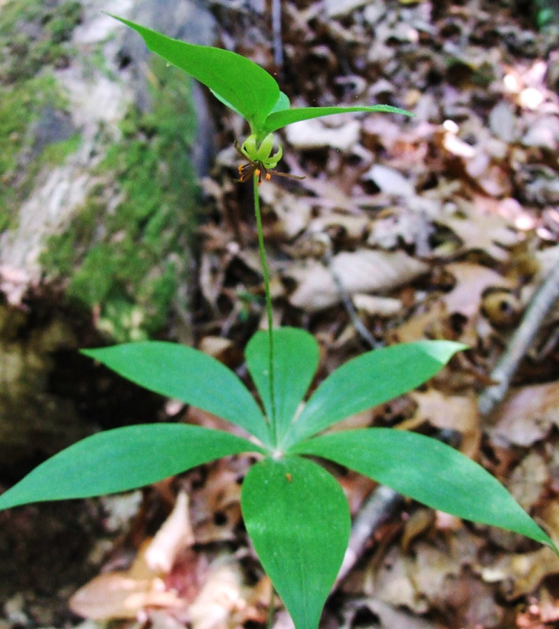 Indian Cucumber-root